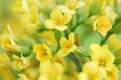 Yellow flowers. Little yellow flowers in a field royalty free stock photos