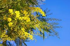 Springtime . Yellow flowers of Acacia dealbata mimosa against blue sky. Yellow flowers of Acacia dealbata mimosa against blue sky Stock Photos