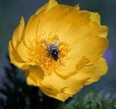Yellow flowers of adonis Royalty Free Stock Photo