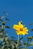 Yellow flowers against blue sky Royalty Free Stock Photo