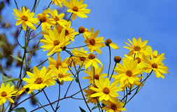 Yellow flowers against the blue sky Stock Photography