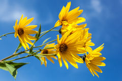 Yellow flowers against the blue sky. Flowering artichoke Stock Photography