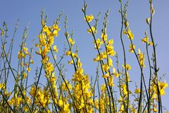 Yellow flowers against a blue sky. In rural Spain stock image