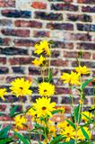 Yellow flowers against brick wall. Background of yellow flowers against brick wall Stock Photos