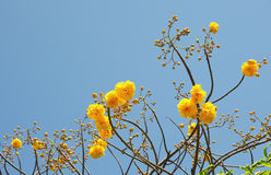Yellow flowers against sky Royalty Free Stock Image