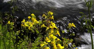 Yellow flowers along fast-flowing river 4k 24fps stock footage