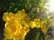 Yellow flowers Thailand royalty free stock photos