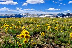 Yellow flowers in alpine meadows and snowy mountains on Independence Pass. royalty free stock image