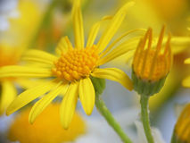 Yellow flowers of Anthemis tinctoria Royalty Free Stock Images