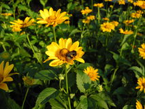 Yellow flowers (asteraceae) and a bumblebee Royalty Free Stock Photo