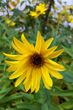 The yellow flowers of autumn. Last yellow flowers of autumn in the garden Royalty Free Stock Photos