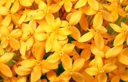 Yellow flowers background. Beautiful yellow flowers background - a shot from the home garden Royalty Free Stock Image