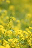 Yellow flowers background. Shallow focus depth on front flower Royalty Free Stock Image