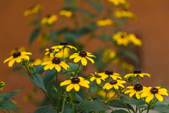 Yellow flowers background Royalty Free Stock Photography