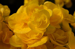 Yellow flowers background. Close-up yellow flowers background Royalty Free Stock Images