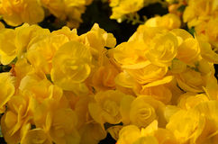 Yellow flowers background. Close-up yellow flowers background Stock Image
