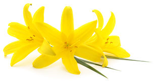 Yellow flowers background. Close-up yellow flowers background on white Stock Photos