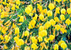 Yellow flowers background. Royalty Free Stock Photos