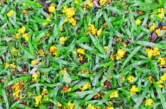 Yellow flowers background on the grass. In the park Stock Image