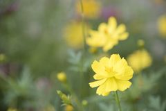 Yellow flowers on the background are naturally blurred. Yellow flowers on the background are naturally blurred, Natural plants landscape using as a background Stock Photography