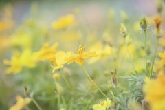 Yellow flowers on the background are naturally blurred. Yellow flowers on the background are naturally blurred, Natural plants landscape using as a background Royalty Free Stock Image