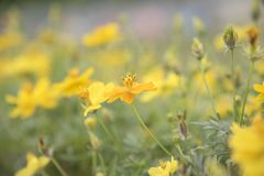 Yellow flowers on the background are naturally blurred. Yellow flowers on the background are naturally blurred, Natural plants landscape using as a background Stock Photos