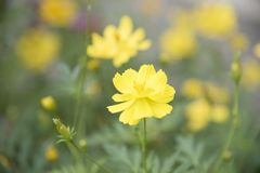 Yellow flowers on the background are naturally blurred. Yellow flowers on the background are naturally blurred, Natural plants landscape using as a background Royalty Free Stock Photo
