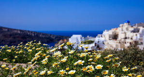 Yellow flowers on the background of Oia village - Santorini, Greece Royalty Free Stock Photography