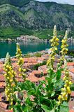 Yellow flowers on the background of the panorama of the city of Kotor. In Montenegro Stock Image