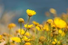 Bright Yellow Flowers Background Malta royalty free stock image