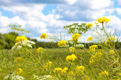Yellow flowers on a background of the rural landscape Stock Image