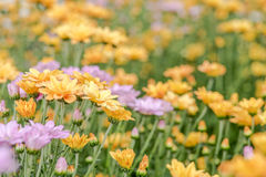 Yellow flowers for background. Selective focus; place for text Royalty Free Stock Images
