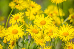 Yellow flowers. Background, shallow depth of field Royalty Free Stock Photos