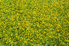 Yellow flowers background Stock Image