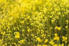Yellow flowers background. Spring field. Stock Photo