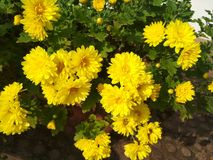 Bright yellow flowers with very pleasant look stock images