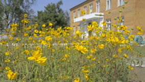 Yellow flowers on a background of a two-storey house. Blue sky stock video footage