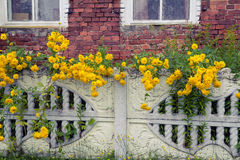 Yellow flowers in balls near the fence. Royalty Free Stock Photography