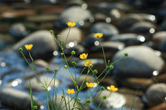 Yellow flowers on the bank of a mountain stream. In a sunny day Stock Image