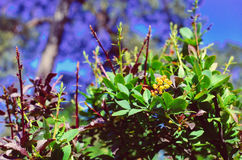 Yellow flowers of barberries Ilicifolia on bush. Branch of yellow flowers of barberries Ilicifolia on bush a blossoming barberry Stock Photo