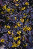 Berberys Thunberga bloomed in the garden. Yellow flowers barberry against the dark leaves Royalty Free Stock Photo