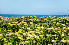 Yellow flowers on the beach, blue sky background Royalty Free Stock Photography
