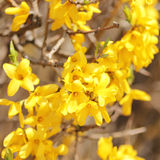 Yellow flowers. beautiful forsythia bush bloom Stock Photos