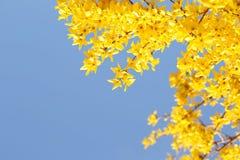 Yellow Flowers. Beautiful Forsythia Bush Bloom Stock Photography