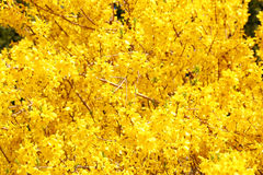 Yellow Flowers. Beautiful Forsythia Bush Bloom in Springtime. Background stock photography