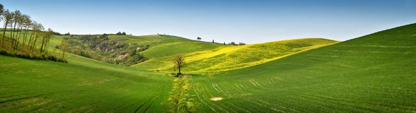 Yellow flowers with beautiful green hills during spring season near San Quirico d`Orcia Siena. Plantation of canola. Italy Royalty Free Stock Images
