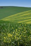 Yellow flowers with beautiful green hills during spring season near San Quirico d`Orcia Siena. Plantation of canola. Italy Royalty Free Stock Photo