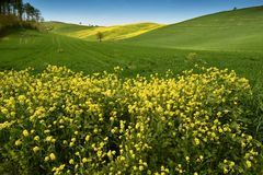 Yellow flowers with beautiful green hills during spring season near San Quirico d`Orcia Siena. Plantation of canola. Italy Royalty Free Stock Photos