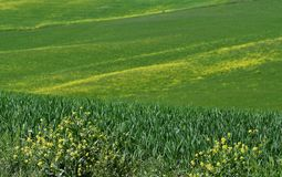 Yellow flowers with beautiful green hills during spring season near San Quirico d`Orcia Siena. Plantation of canola. Italy Royalty Free Stock Photography