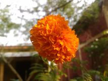 Solitude Marigold. Beautiful looking marigold standing still in solitude in the garden royalty free stock photo